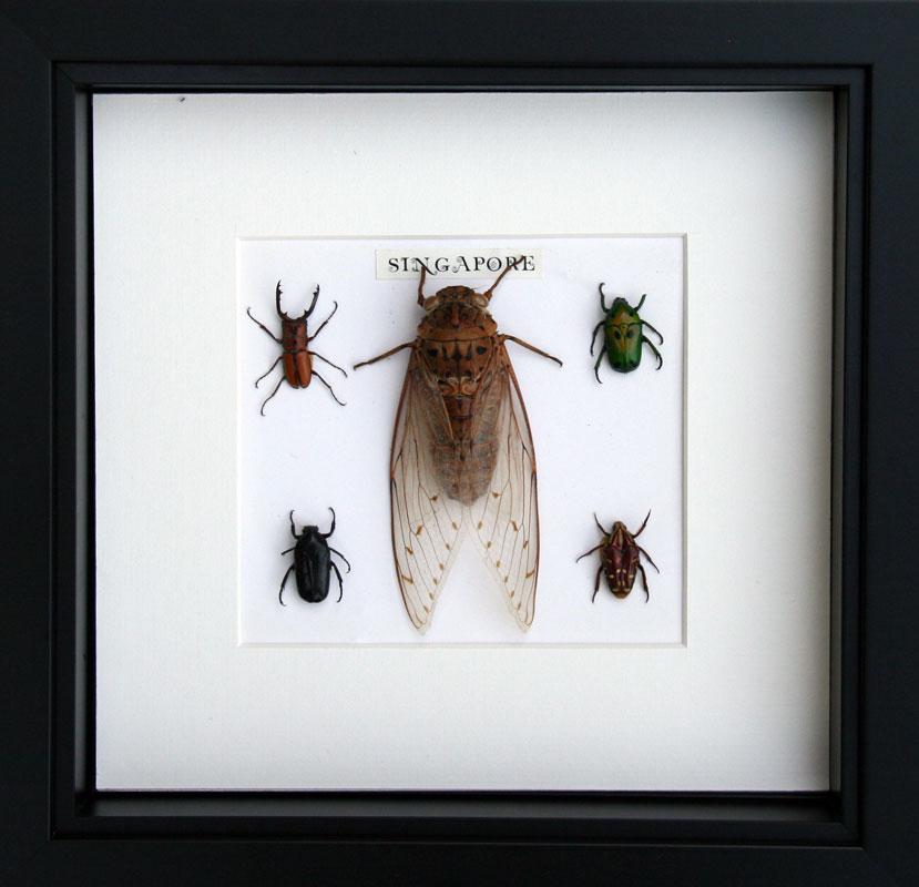 Boitage -vitrine avec insectes